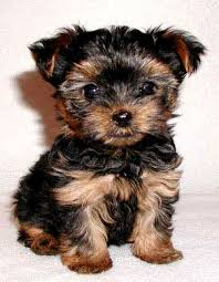 baby yorkshire terrier. Simple Baby Yorkshire Terrier Baby Dog Blog Treats Inside R