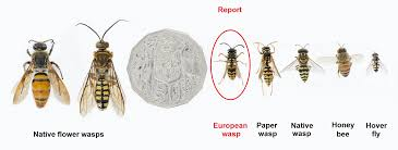 Wasp Identification Chart How To Identify European Wasps Agriculture And Food
