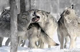 gray wolf pack playing. Brilliant Playing Wolf Pack With Gray Wolf Pack Playing A