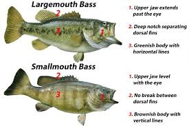 Bass Species Chart Smallmouth Vs Largemouth Bass All You Need To Know