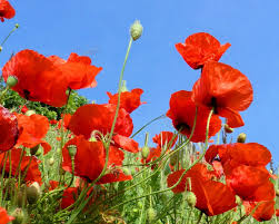 Image result for BUY RED POPPIES online