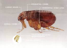 orkin flea treatment cost.  Flea Flea Exterminator Cost Orkin Pest Control Fleas Uk Wealthcamp Info  Exterminator Bed Bug Control  To Treatment How Get Rid Of Stink Bugs