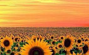 Sunflower Laptop Wallpaper posted by ...