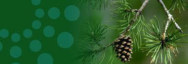 Pine Tree Allergy | Causes, Symptoms & Treatment | ACAAI Public Website