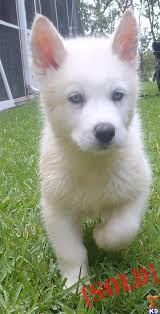 white wolf pup with blue eyes. Delighful White White Wolf Puppy With Blue Eyes  Photo16 In Wolf Pup With Blue Eyes
