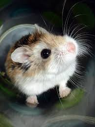 can hamsters have timothy hay and do