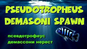 Псевдотрофеус демассони, нерест. Pseudotropheus demasoni ...