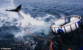 pictures of great white sharks eating people. Beautiful Pictures Renting Shark Cages To Tourists Has Led Great Whites Getting  Increasingly Used Human Interaction Inside Pictures Of White Sharks Eating People R