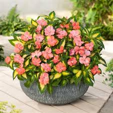 SunPatiens® <b>Vigorous</b> Salmon <b>V</b>/L Interspecific Impatiens