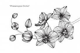蘭の花のイラストのイラスト ベクター画像 プレミアムダウンロード