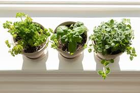 to grow herbs indoors on a sunny windowsill