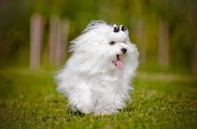 maltese dog. photo gallery maltese dog