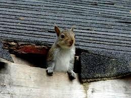 Squirrel Removal - Quick Capture Animal