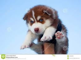 red husky puppy blue eyes.  Red Blueeyed Husky Puppy On Red Husky Puppy Blue Eyes Dreamstimecom