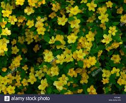 masses of yellow flowers growing on the garden plant kerria japonica or japanese rose in the spring season together with fresh green leaves
