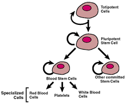 multipotente stamcellen