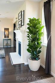 Plant Interior Design Stunning Interior Landscaping By Everything Grows Ficus Plants For Home
