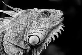 black and white reptile photography. Am The Lizard King Key Largo FL Intended Black And White Reptile Photography