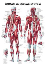 Laminated Anatomical Charts The Human Muscular System Laminated Anatomy Chart