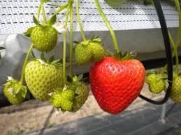 image source strawberryplants ie