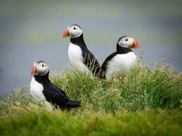 photographing puffins in iceland