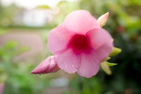 premium photo pink flowers rainy season
