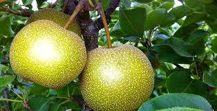 How To Prune Fruit Trees U2013 MartinboroughPrune Fruit Tree