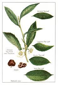 Assamese Flower Chart Chinese Vs Assam Tea Tree Plant In 2019 Tea Illustration