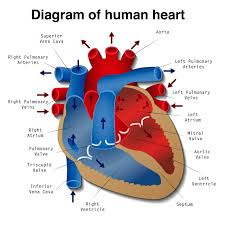 heart disease definition causes research diagram of the human heart