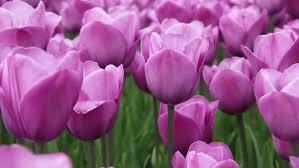 lovely violet colour tulip background
