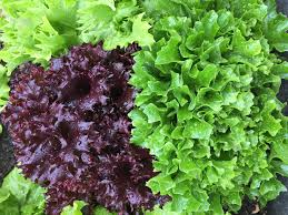 what green lettuce is the most nutritious