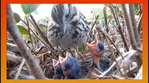 Baby Robins Growth Chart 9 Days In The Nest Baby Birds Fom Egg To Fledgling A Compilation