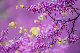 April Branches Spring Nature Beautiful Blossoms Freshness Springtime  Flowering Scent Fragrance Blooming Desktop Background Images - 1280x847