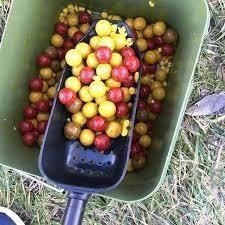 meilleur appat carpe etang tomate cerise