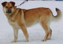 the left side of a brown with tan siberian retriever dog that is standing in snow sissy the husky labrador mix