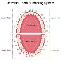Teeth Numbers Chart Usa Tooth Numbering Systems In Dentistry News Dentagama