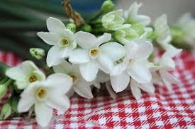 Tazetta Narcissus Group