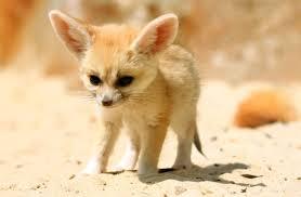 baby fennec fox. Plain Fennec On Baby Fennec Fox I