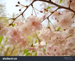 beautiful cherry blossom sakura