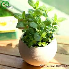 2018 30 seeds mint peppermint lemon balm thailand aromatic leaves b023 from a308040964 0 51 dhgate com