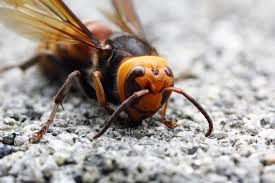 To buy asian giant hornets