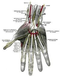 superficial palmar nerves deep branch of ulnar labeled at center right