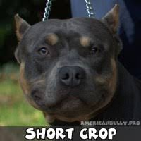 Pitbull Ear Crop Chart Bully Ear Crop Chart Bully Ear Crop Pictures To Pin On