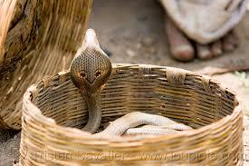 cobra snake in basket india basket endangered species indian cobra
