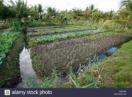 a tending to her vegetable garden with furrow irrigation on the outskirts of inhambane
