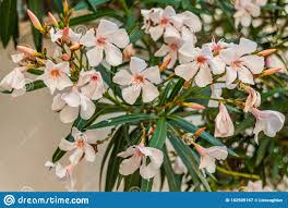 Close Up Of Dwarf White Oleander Flowers. Stock Image - Image of colorful,  floral: 182909167