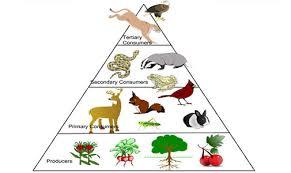 animal food pyramid. Perfect Food With Animal Food Pyramid S