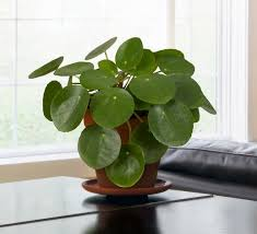the chinese money plant pilea
