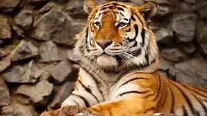 Tiger Wallpaper 4k - Tigre 4k (#1933309 ...