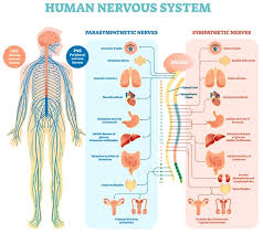Image result for nervous system structure